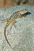 442800012 a wild yellow-backed spiny lizard sceloparus uniformis perches on a rock along chalk cliffs road bishop california united states