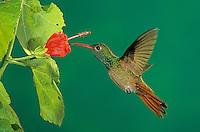 Buff-bellied Hummingbird, Amazilia yucatanenensis, adult feeding from Turk's Cap (Malvaviscus drummondii) , Welder Wildlife Refuge, Sinton, Texas, USA