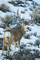 Mule deer buck (Odocoileus hemionus)on winter range in Wyoming