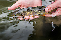 A wild brook trout from Waterloo Creek in the Driftless Region of Iowa.