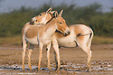 Indian wild asses showing affectionate behavior, (Equus hemionus khur), dry season<br /> The Indian wild ass's range once extended from western India, through Sind and Baluchistan, Afghanistan, and south-eastern Iran. Today, its last refuge lies in the little Rann of Kutch and its surrounding areas of the Greater Rann of Kutch in the Gujarat province.