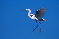 525006506 a wild great egret casmerodius albus in flight in southern louisiana