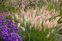 Fountaingrass Pennisetum alopecuroides (aka swamp foxtail grass) with flowering seed head stalks in autumn grass garden