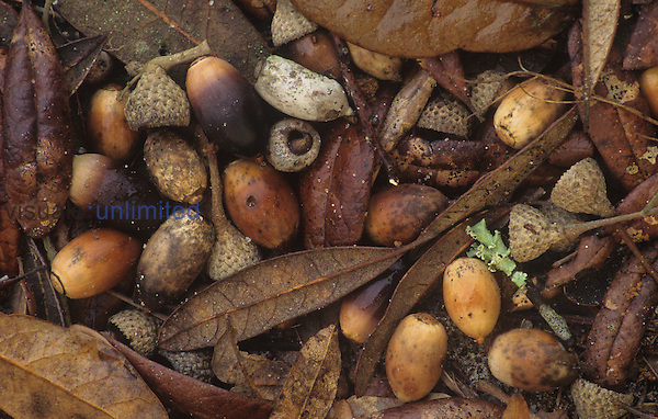 Live Oak leaves and acorns on the fall forest floor (Quercus virginiana), Eastern North America.