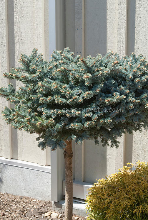 Dwarf blue spruce grafted high on trunk Picea pungens Globosa