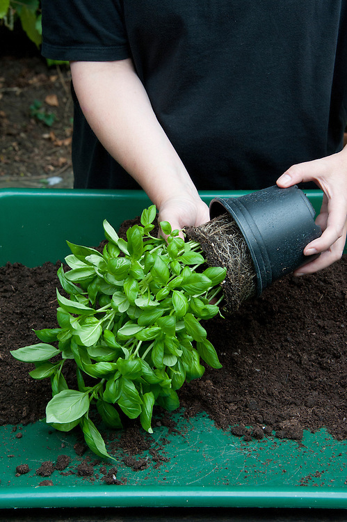 Dividing and re-potting a supermarket-bought basil plant. Image 3 of 10.