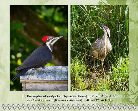 "September of the 2014 Birds of a Feather Calendar. Photo is called ""American Bittern in the Grass"" and ""Pileated Woodpecker on bird house"".  An American Bittern (Botaurus lentiginosus) is standing in the tall, green grass along a stream bank with his head tilted up looking at the view in the Ridgefield National Wildlife Refuge."