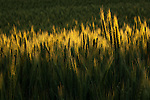 Golden heads of wheat in the Palouse Valley