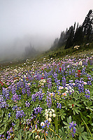Field of wildflowers in fog, Edith Creek Basin, Paradise, Mount Rainier National Park, Washington, USA