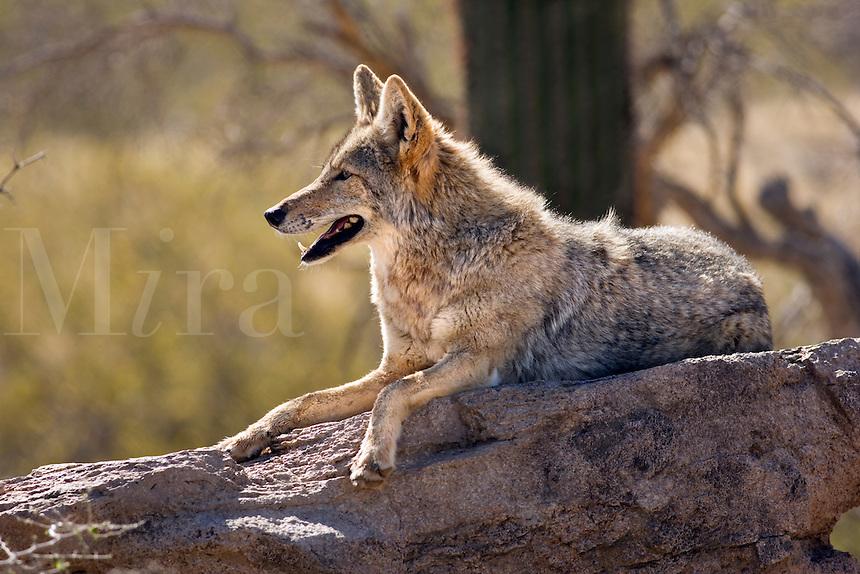 Desert coyote pictures - photo#13