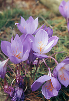Crocus speciosus 'Oxonion' autumn flowering bulb