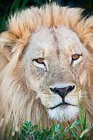 Portrait of an African Lion (Panthera leo), Okavango Delta, Botswana