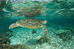 Mating green turtles (Chelonia mydas) in the reef shallows. Sipadan Island, Sabah, Malaysia. 23 June 2009