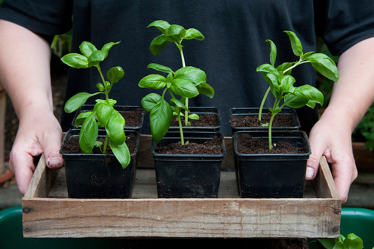 Dividing and re-potting a supermarket-bought basil plant. Image 10 of 10.