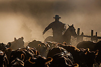 3rd Place 2015 Best Freelance Editorial Photograph - Western Horseman<br /> Single cowboy driving cattle through early morning dust with lariat; looks like Marlboro Man