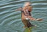 Duck bathing, Upper Newport Bay.