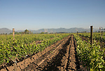 Chile Wine Country: Vineyards at Undurraga Winery, Vina Undurraga, near Santiago..Photo #: ch417-32816.Photo copyright Lee Foster, 510-549-2202, www.fostertravel.com, lee@fostertravel.com.