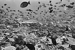 Fakarava Atoll, Tuamotu Archipelago, French Polynesia; a gray reef shark swimming through a large school of yellowmask surgeonfish