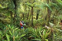 Female tramper in native podocarp forest with tree ferns near Jackson Bay, South Westland, West Coast, UNESCO World Heritage Area, South Island, New Zealand, NZ