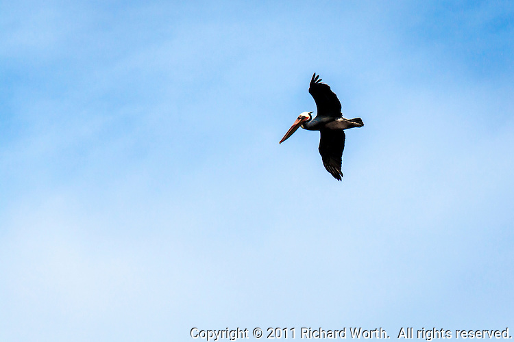 A Brown pelican flies by, floating on air, at San Leandro Bay, part of San Francisco Bay.