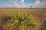 Lone saw palmetto (Serenoa repens) in the Copeland Prairie in Big Cypress National Preserve, Florida