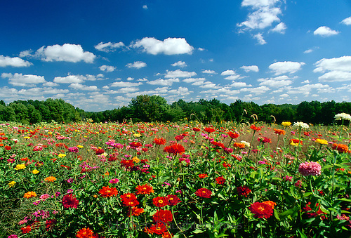 Field of Zinnias blooming-- agriculture of flowers in every color