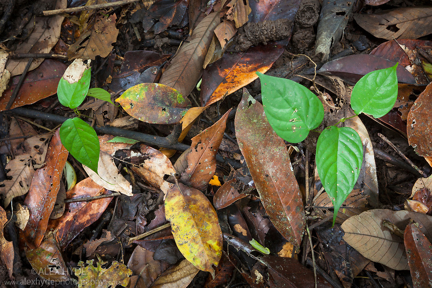 Understory vegetation and forest floor in lowland dipterocarp rainforest. Danum Valley, Sabah, Borneo, Malaysia.