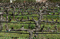 Rows of grapevines at Robert Mondavi Vineyard in Oakville in Napa County in Northern California.