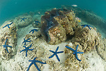Giant clam surrounded by blue starfish