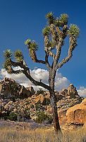 757800002 a wild joshua tree yucca brevifolia grows in a small gully surrounded by boulders and hillside outcrops in joshua tree national monument california