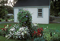 Morning Glory (Ipomoea purpurata) with petunias, snapdragons, etc in garden near garage, with glasshouse at rear