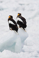 Pair of Steller's Sea eagles in resting on pack ice in Nemero strait, Japan.