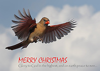 Northern Cardinal descending from heaven with glad tidings of peace & joy.