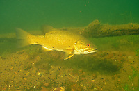 Smallmouth Bass on bed guarding fry<br /> <br /> ENGBRETSON UNDERWATER PHOTO