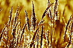 Golden light on the wild grass along the river yar, isle of wight