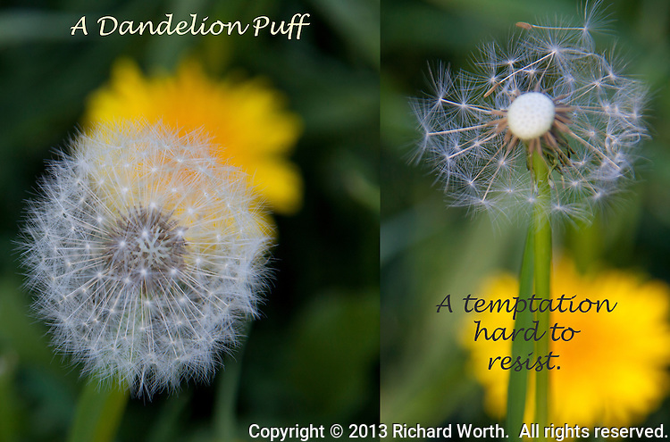 A dandelion puff, round and perfect, gets 'puffed', its white feathery parachutes scattering seeds and leaving behind a happy, though  tattered, stem with a few hangers-on.