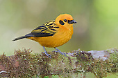 Golden Tanager (Tangara arthus) perched on a branch at the Mindo Loma Reserve, Ecuador.