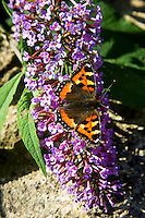 Small Tortoiseshell butterfly on Buddleia shrub, the Cotswolds, Oxfordshire, United Kingdom