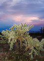 Cholla cactus appears soft against the pastels of the evening sky in Organ Pipe Cactus National Monument, AZ.