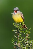 Couch's Kingbird (Tyrannus couchii), adult singing on Christmas Cholla (Opuntia leptocaulis),  Laredo, Webb County, South Texas, USA