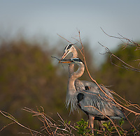 Great Blue Heron pair building nest-male has brought female nesting material twigs