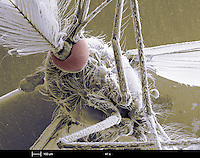 An SEM image of a male mosquito (family Culicidae).  Several mosquito species are vectors for human diseases, including malaria and yellow fever.   This is a scanning electron microscope image.  The calibration bar is 100 um and the magnification is 41 x..