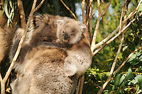 Koala (Phascolarctos cinereus) young on its mother's back, Victoria, Australia.