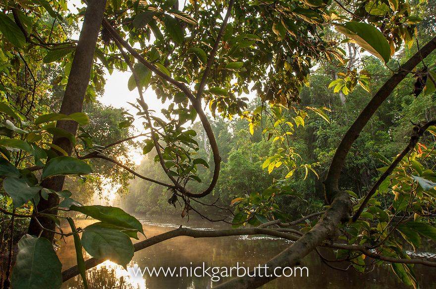 Early morning sun breaks through the mist. Riverine forest, Mananggol River, Kinabatangan, Sabah, Borneo.