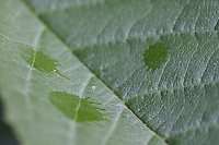 The arrival of a late summer shower sends water drop impacts on this leaf, poised to collect the water