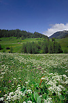 Spring flowers and grass in Alpine meadow, Imst district, Tyrol,Tirol, Austria.