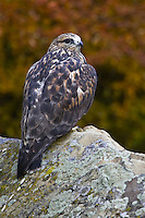 Rough-legged Hawk perched on a lichen covered rock