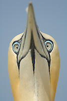 Close up of the head of a Northern Gannet during sky pointing courtship display, Scotland, UK.