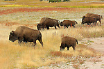Bison Adults and Juveniles, Hayden Valley, Yellowstone National Park, Wyoming