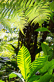 Native rainforest leaves and ferns on the trail to 'Akaka Falls, Big Island of Hawai'i.